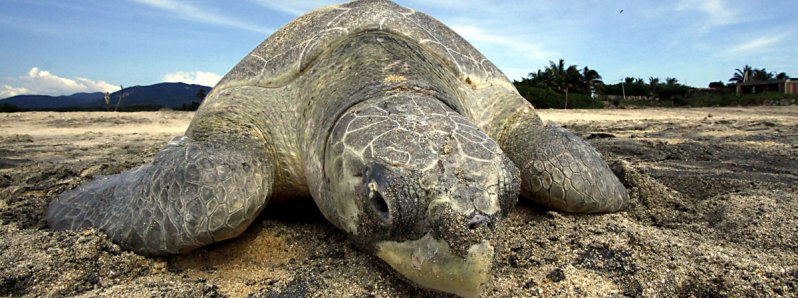 All you need to know about Turtle Nesting in Costa Rica!