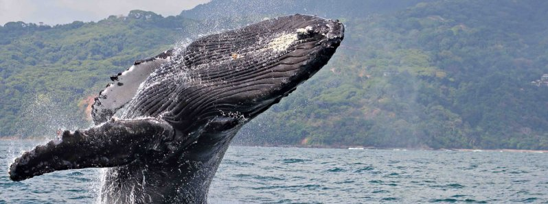 Whale watching: An incredible vacation tour in Costa Rica