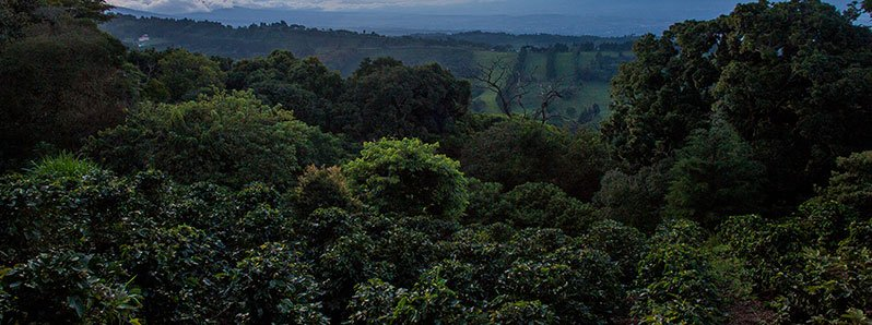Costa Rica coffee consolidated as a leader in the transformation of a sustainable coffee