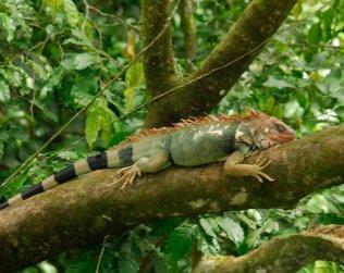 """Proyecto """"iguana Verde"""" En La Reserva Indígena Kekoldi"""
