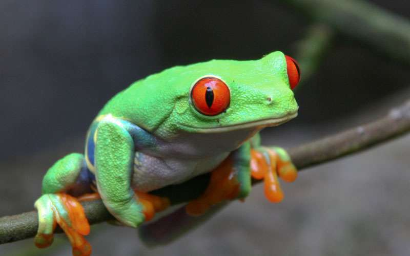The red-eyed tree frog (Agalychnis callidryas) is an arboreal hylid native to Neotropical rainforests