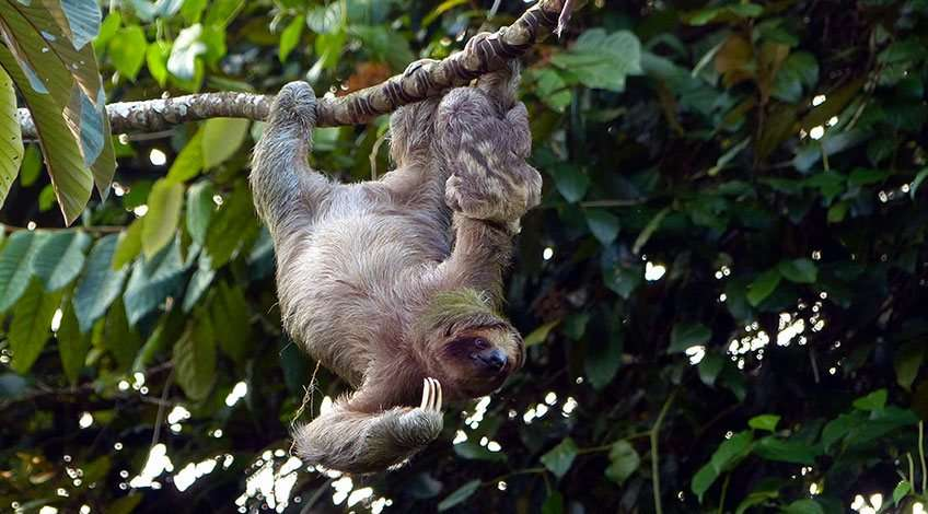 Sloth Tour in Arenal Volcano at Fortuna Costa Rica