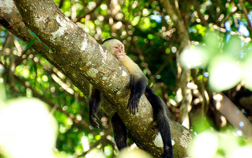 A white-faced monkey hugs a log in Manuel Antonio while resting and watching the sea.