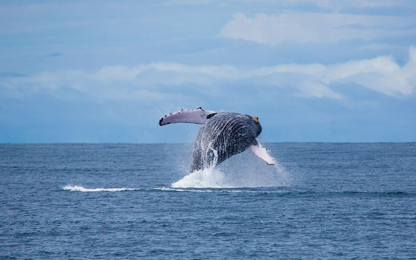 A spectacular humpback whale jumps out of the sea, displaying itself before the fascinated gaze of tourists in Corcovado.