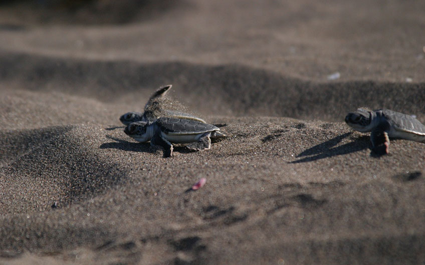 Nesting Turtles in Tortuguero Park and Canal