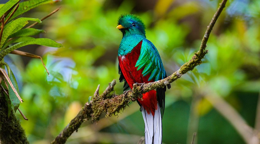 Costa Rica, Monteverde Cloud Forest: Quetzal Bird