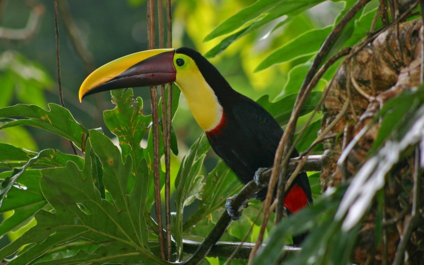 Why do you need to have vacations in Costa Rica Tucan or Toucan Bird