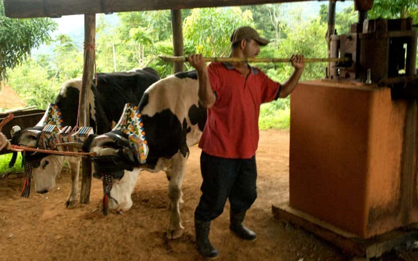 A cowherd working with his oxen in the sugar mill.