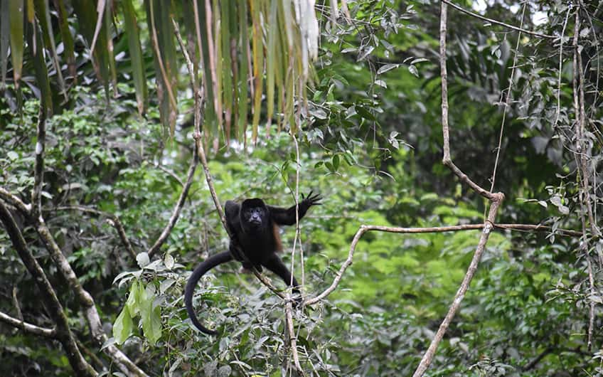 Tortuguero Costa Rica, Monkey