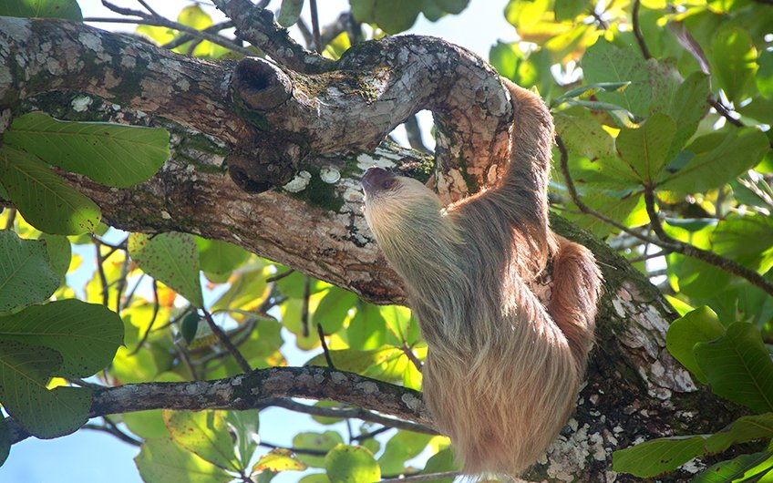 Travel Guide: See Sloths in Tour de Sloth with Travel Excellence in Fortuna, Arenal, San Carlos, Costa Rica