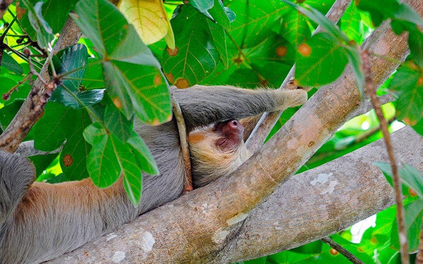 Travel Guide: See Sloths in Sloth Santuary of Costa Rica in Manuel Antonio National Park, Central Pacific, Puntarenas