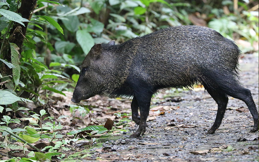 Sarapiquí Costa Rica Travel Guide: Wild Pig in La Selva OTS