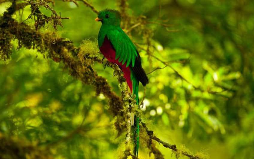 Birdwatching, Quetzal in San Gerardo de Dota Costa Rica