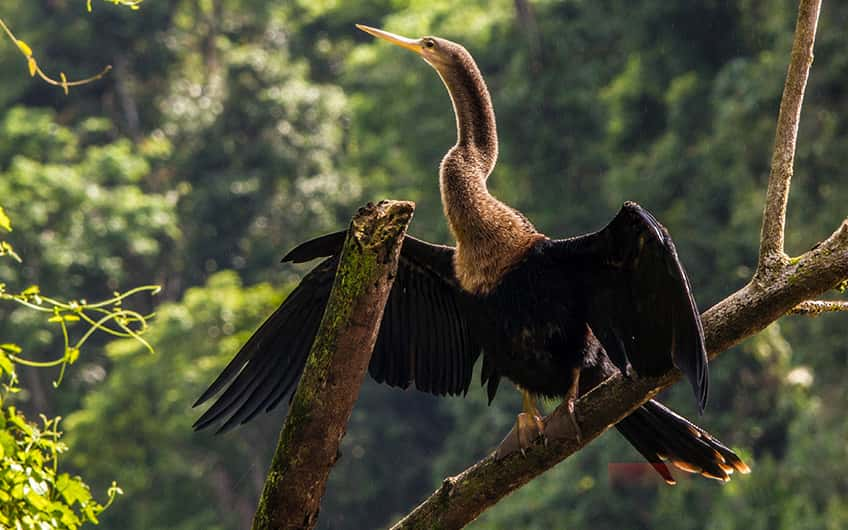 Tortuguero Costa Rica, Aninga Vogel
