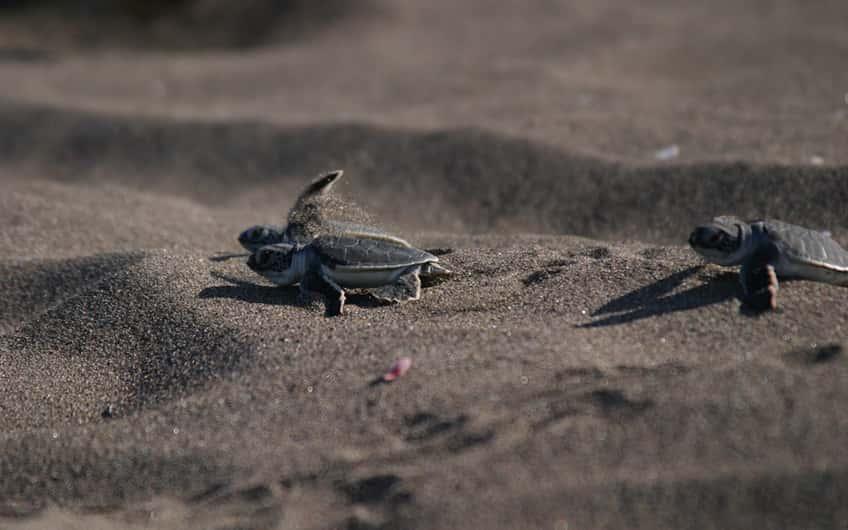 Tortuguero Costa Rica, Schildkrötennisten