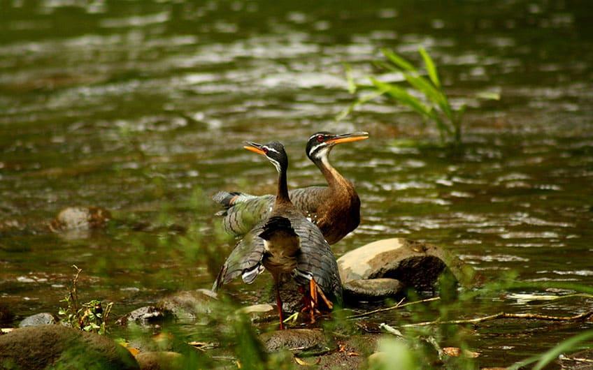 Sarapiquí Costa Rica Travel Guide: Birdwatching tour in Tirimbina: Eurypyga helias