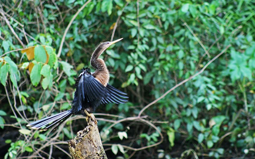 Anhinga Bird in Tortuguero Park and Canal