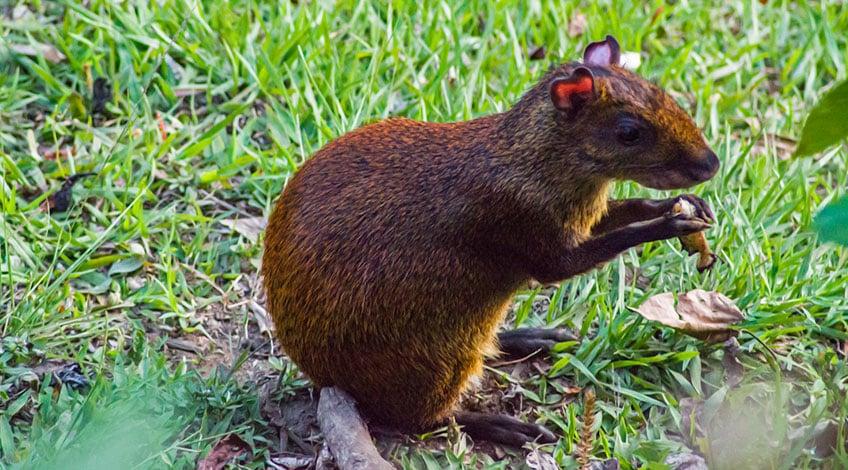 Costa Rica hotels: El Establo a great family-owned lodge in Monteverde Wildlife Guatusa