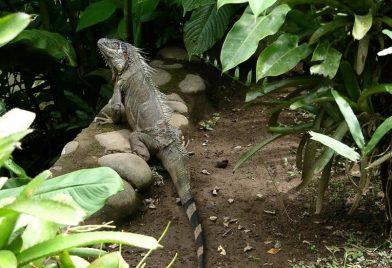 Green Iguana Project